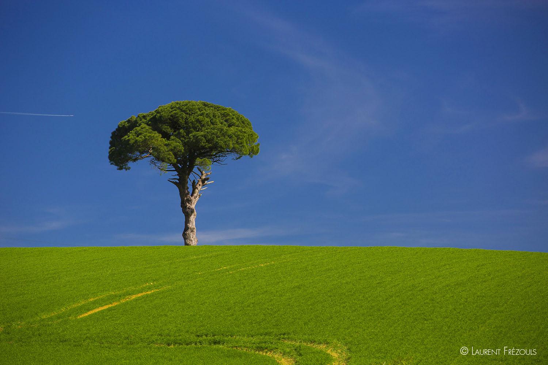 Le Tarn dans sa simplicité, un pin parasol dans un champ de blé au printemps.