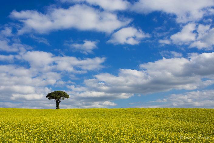 Dans le Tarn, entre Castres et Lautrec, un pin parasol isolé au milieu d'un champ de colza sous un ciel de printemps. Contraste entre le jaune et le bleu.