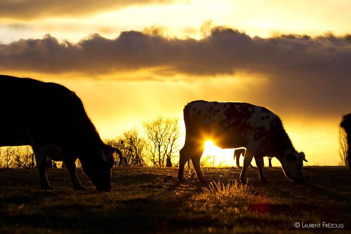 Vaches au coucher de soleil à Navès dans le Tarn