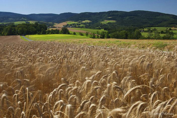 Vent d'Autan dans un champ de blé de la Montagne noire