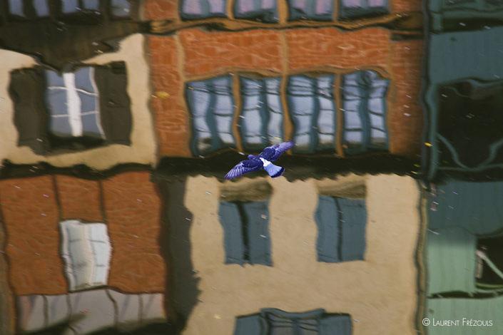 Pigeon sur les reflets des maisons sur l'Agout à Castres