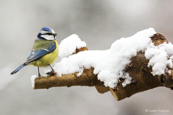 Mésange bleue en hiver sous la neige