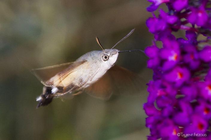 Moro sphinx ou sphinx colibri