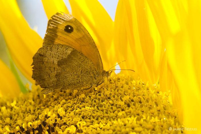Papillon Myrtil sur une fleur de tournesol