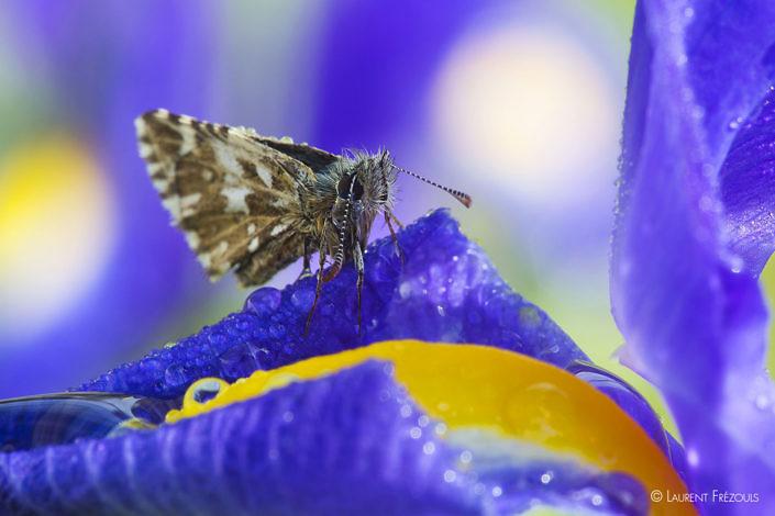 Papillon au réveil sur une fleur d'iris