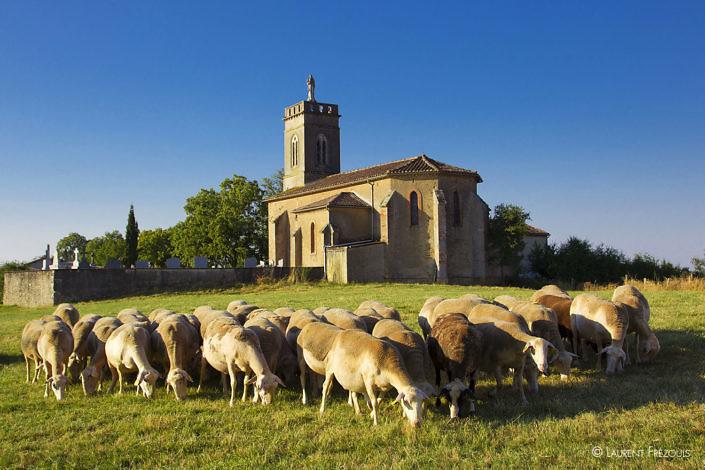 Un troupeau de brebis devant la chapelle de Saint-Jean-de-Prémiac à Roumégoux
